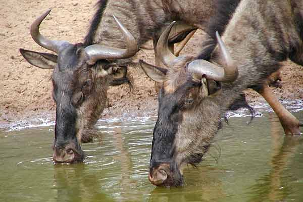 Close-up of wildebeest pair drinking, Mkuzi Game Reserve, South Africa