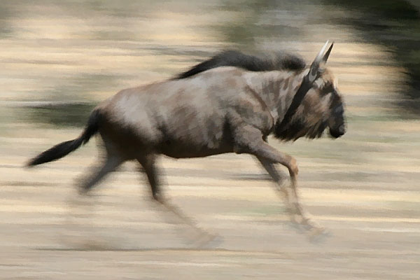 wildebeest on the run, motion blur image