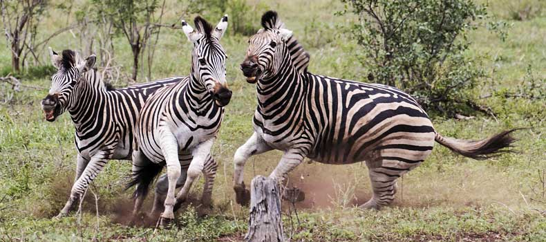 Zebra stallions fighting and kicking, Kruger National Park, South Africa