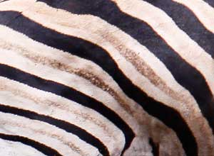 Zebra stripes showing shadow stripes