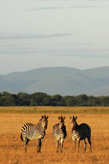 Zebra trio in late afternoon light