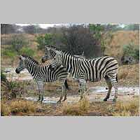 Zebra standing in gentle rain
