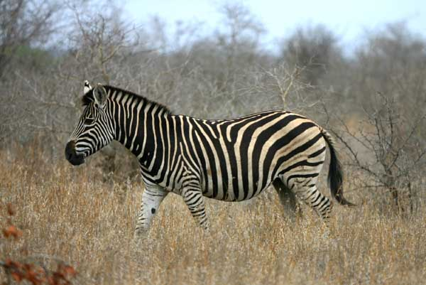 Zebra walking, side view