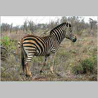 Lone zebra, side view