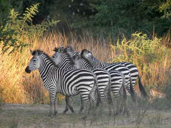Zebra group standing in formation