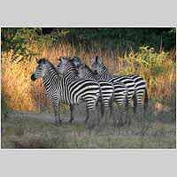 Zebra in formation