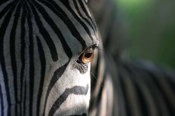 Zebra portrait extreme close-up