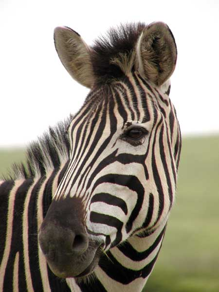 Zebra head close-up