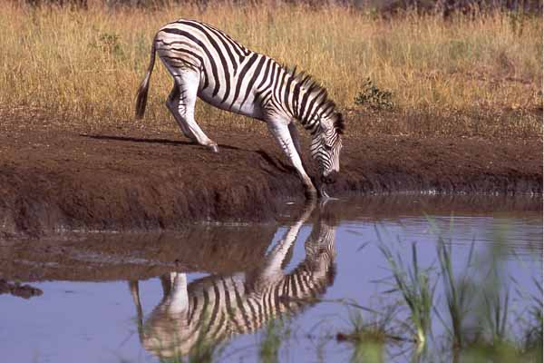 Zebra drinking at waterhole