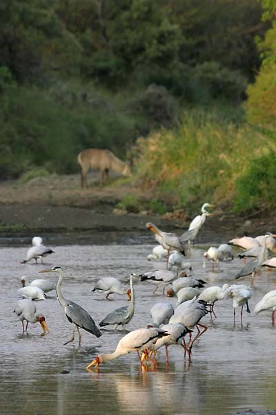Yellowbilled storks