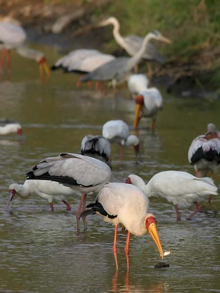 Yellowbilled stork with fish in its bill