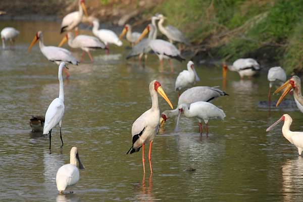 Yellowbilled Stork