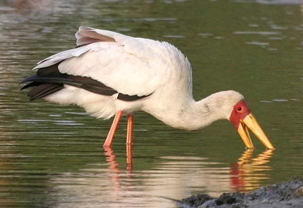 Yellowbilled Stork hunting for fish