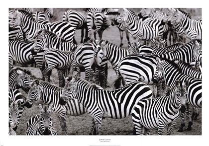 Zebra abstract fine art print