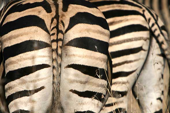 Zebra Backsides