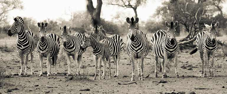 Skittish Zebra herd approach waterhole, Kruger National Park