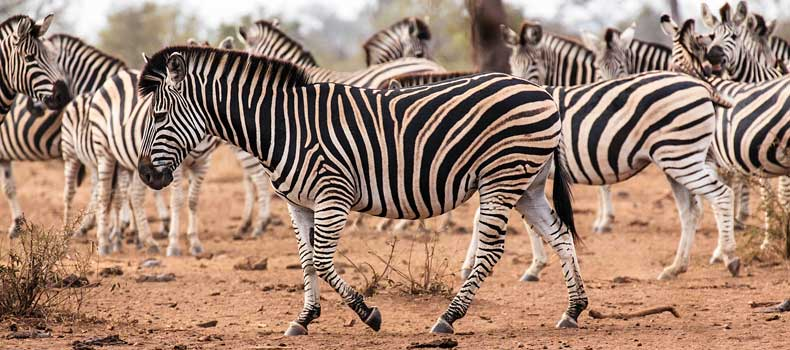 Zebra herd milling around, Kruger National Park, South Africa