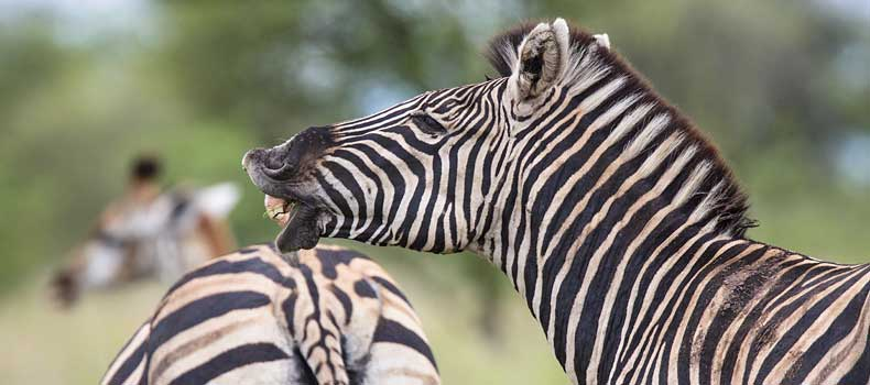 Zebra and giraffe, Kruger National Park, South Africa