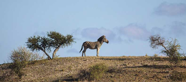 Zebra against skyline, Mashatu Game Reserve, Botswana