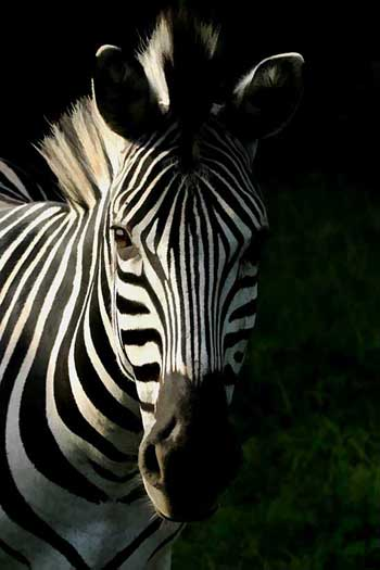 Zebra portrait, Stainbank Nature Reserve, KZN, South Africa