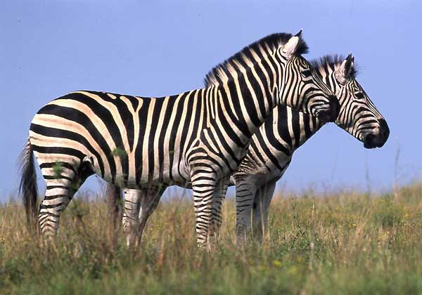 Zebra pair standing side-on