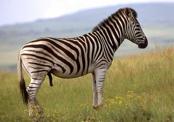 Zebra stallion, side-on