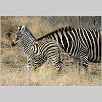 Zebra mother and foal