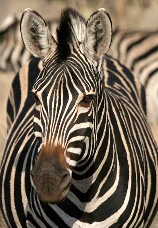 Zebra, front-on view