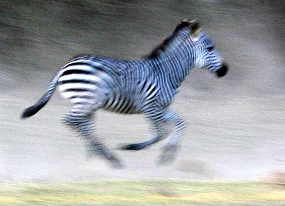 Panned photo of zebra galloping