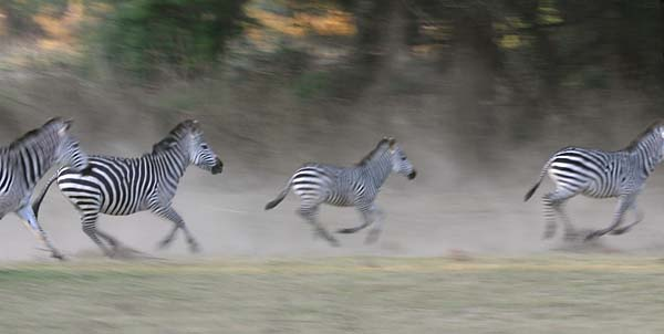 Zebras galloping