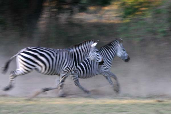 Zebra pair running