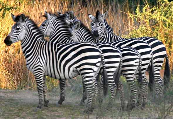 Zebra group in Lower Zambezi National Park