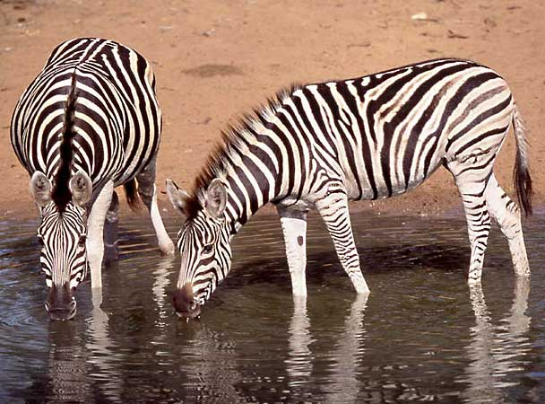Zebra pair drinking at waterhole