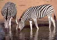 Zebra at waterhole, Mkuzi Game Reserve, South Africa