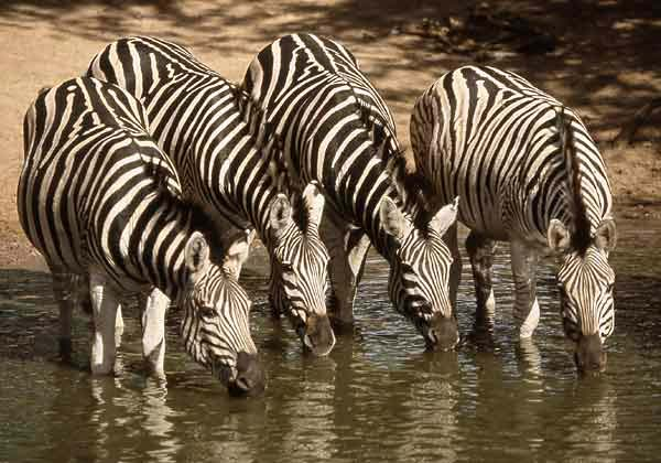 Zebra drinking from waterhole