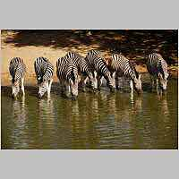 Zebra herd at waterhole
