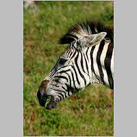 Zebra munching