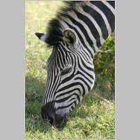 Zebra grazing grass