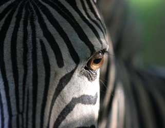 Zebra, extreme close-up, Stainbank Nature Reserve, South Africa