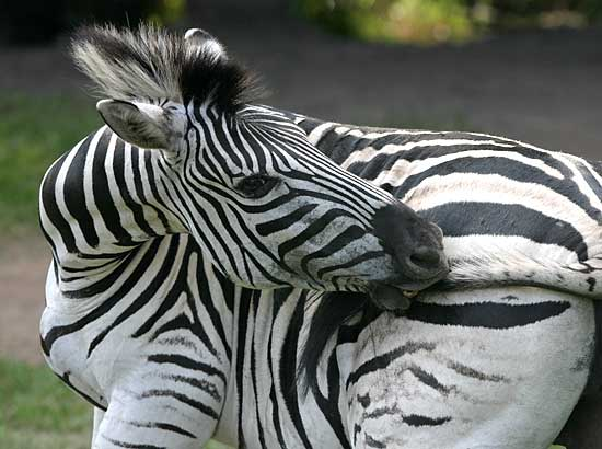 Photo Details: Burchell's Zebra (Equus burchelli) nibbling the tip of its