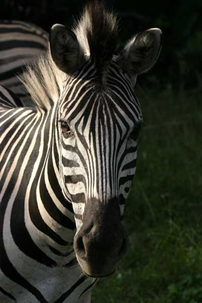 Zebra portrait, front view