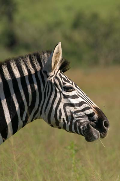 Zebra portrait, profile view