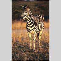 Zebra in warm light