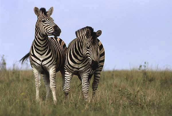 Zebra pair standing front-on