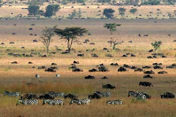 Serengeti plains with zebra and wildebeest