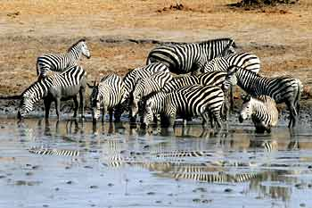 Zebras drinking from dam, Hwange National Park, Zimbabwe