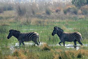 Zebra pair walking through shallow pan, Okavango Delta, Botswana